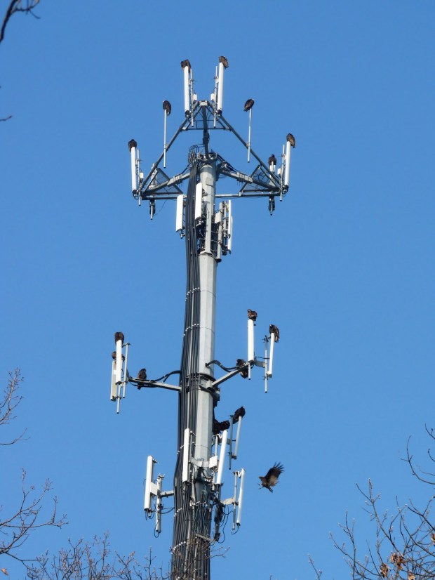 Vultures_on_Cellphone_Tower